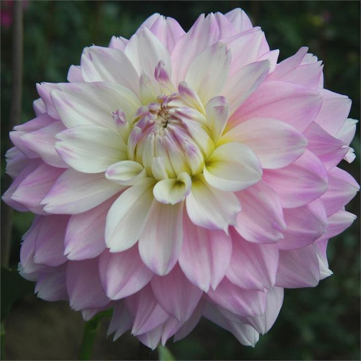 "Dahlia 'Marry Me' - The softest pink blending with white in the center and 6"" blooms make this one of the prettiest Dahlias. Height 5""."