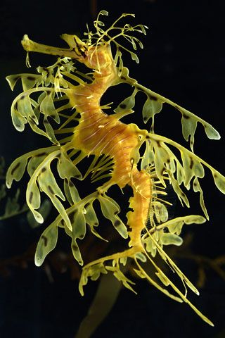 Leafy Sea Dragon. Heads like horses, tails like monkeys and pouches like kangaroos= fascinating, extraordinary fish.