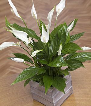 a beautiful peace lily plant with lovely white sail like flowers presented in a wooden mini crate