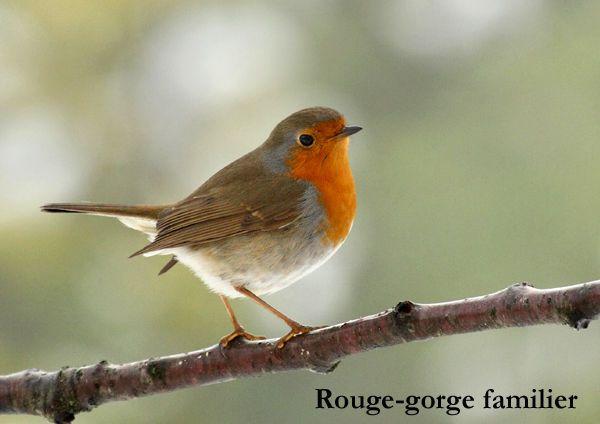 19 best oiseaux de nos jardins images on pinterest bird for Oiseaux de nos jardins