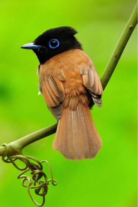 Asian Paradise Flycatcher: Paradise Flycatch, Paradis Flycatch, Little Birds, Blue Eye, Coucal, Beautiful Birds, Big Eye, Asian Paradise, Tropical Birds