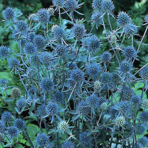 BLUE CAP Sea Holly Seeds Eryngium planum 'Blue Cap' Sea Holly is easy to grow. Iridescent bright blue, spiny, thistle-like flowers July to September. Superb cut flowers, fresh or dried. Grows to 3 feet tall. Winter hardy to zone 5. Combines nicely with 'Gay Butterflies' Butterfly Weed, 'Sterntaler' Coreopsis, 'Primadonna White' Echinacea, 'Giant Yellow Herold' Foxglove, Hollyhock, and Shasta Daisy.