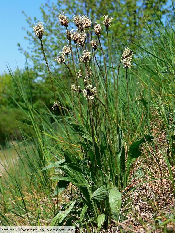 Jitrocel kopinatý (Plantago lanceolata) Čeleď: Trocelovité (Plantaginaceae)