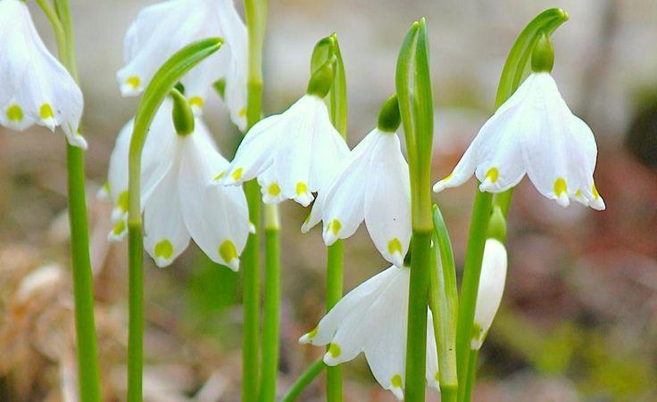 Der beliebte Märzenbecher (Leucojum vernum), auch als Frühlings-Knotenblume bekannt, läutet im März mit duftenden weißen Glockenblüten das Frühjahr ein