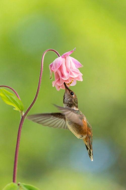flitterling:  Hummingbird bySteven Fines