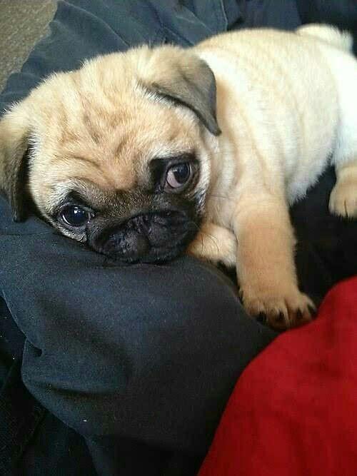 """It's the Weekend! Time to sleep.""  Bark @ us! www.jointhepugs.com  #PugPower #PugLife #VotePug #cuteness"