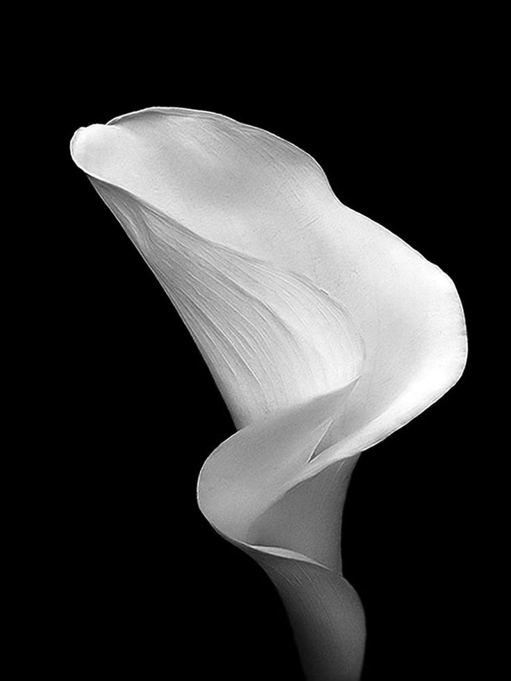 Black and White Cala or Calla by *andras120