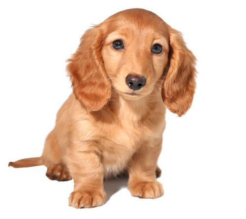 Incredible Dog Crossbreeds - Golden Dox - Golden Retriever and Dachshund