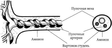 Строение пуповины