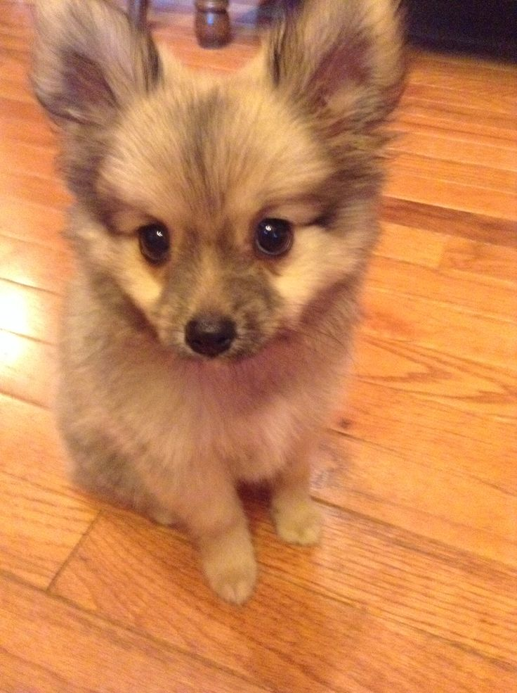 Teacup Pomeranian yorkie mix. It's pretty cute his name is ... Pomeranian Mix