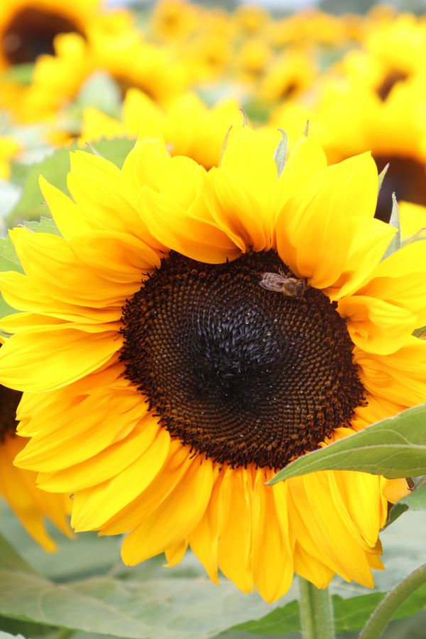 This Beautiful Sunflower Has A Friend Save A Bee Plant A Flower Bees Plants Flower Garden Flowers