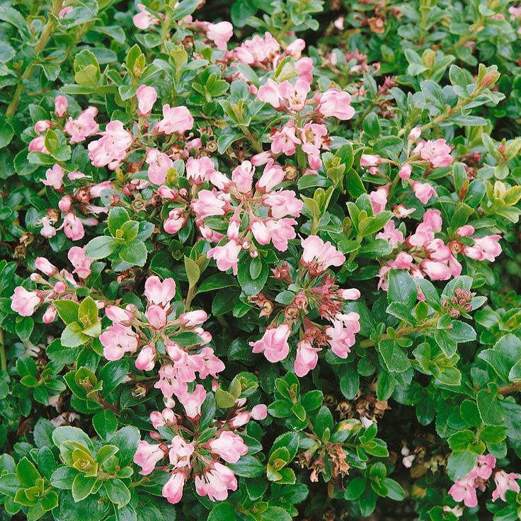 Escallonia 'Apple Blossom' evergreen, good for that corner you talked about