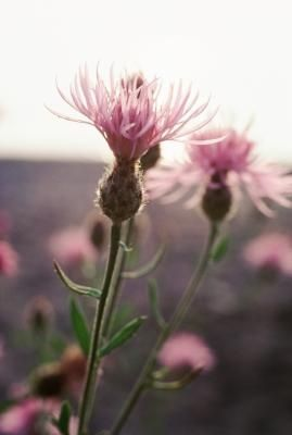 How+to+Control+or+Kill+the+Thistle+Plant+in+Grass+