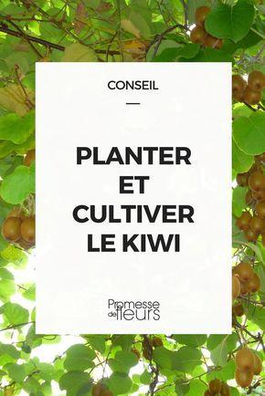 planter er cultiver le kiwi