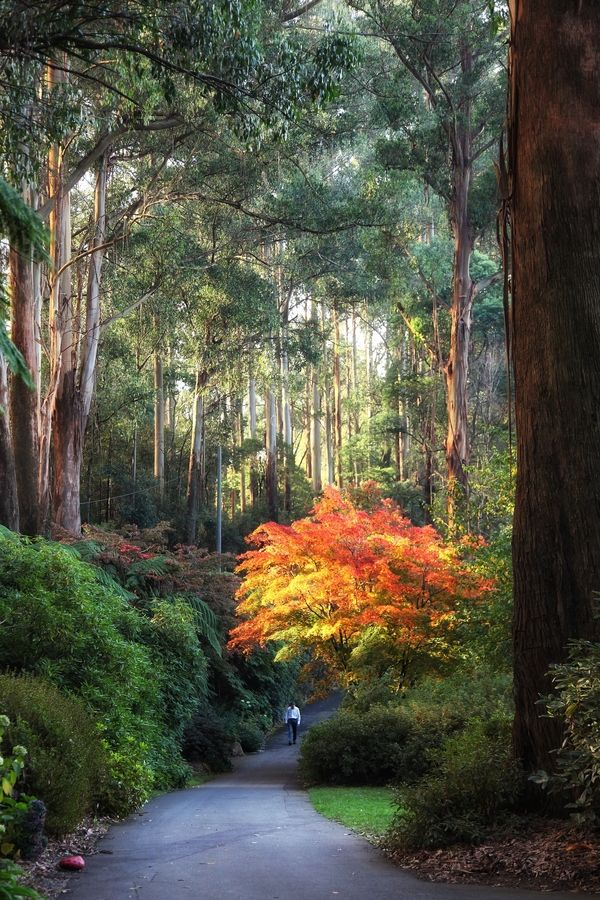 Walking in Paradise - National Rhododendron Garden, Dandenong Victoria, Australia - by Sam Assadi