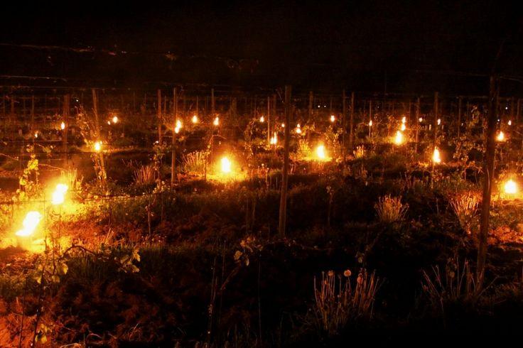 Tuinders en wijngaarden waren druk in de weer begin mei. Er was flinke vorst aan de grond en dus werden op deze biologische wijngaard in Groesbeek vuurpotten ingezet. Foto @paulspierings Weer: Van -7 via +21 naar de grote omslag