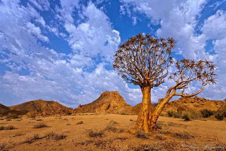 Http://www.PhotoPixSA.co.za Quiver Tree duet - Quiver Tree duet. The branches and bark are used by Kalahari San Bushmen to make quivers for their arrows. Known as Choje to the indigenous San people