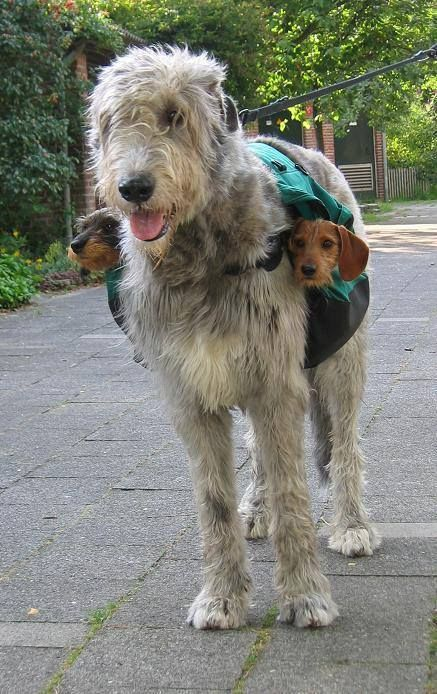 An Irish Wolfhound wears a pair of Dachshunds on either side of a saddle bag (by Ida Verveen)