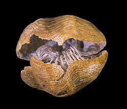 Brachiopod - Simple English Wikipedia, the free encyclopedia