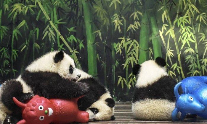 População de pandas gigantes apresenta considerável crescimento na China - Jornal O Globo