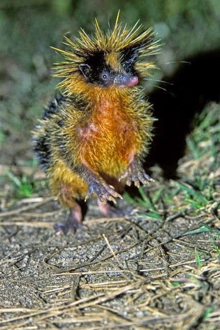 ** Várzea Streaked Tenrec - O tenrec é um mamífero da família Tenrecidae, encontrado em Madagascar e em algumas partes do continente Africano. Tenrecs são amplamente diversificada; como resultado da evolução convergente, assemelham-se ouriços, musaranhos, gambás, ratos e até mesmo lontras.