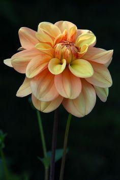 1008 best les dahlias images on pinterest | flowers, flowers