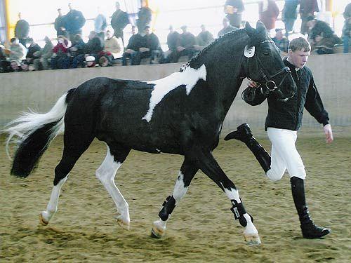 Deckhengste Lewitzer Schecken - Black Tobiano