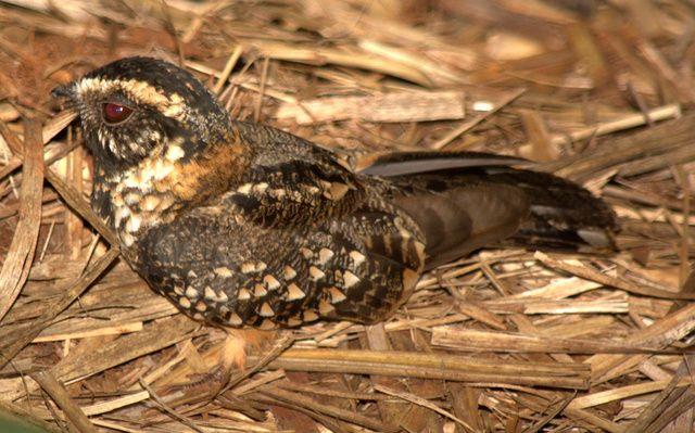 Bacurau-de-rabo-maculado (Hydropsalis maculicauda)
