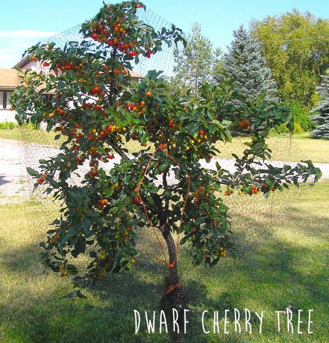 Combo Cherry Tree 3 Varieties Combination Fruit Trees Fruit
