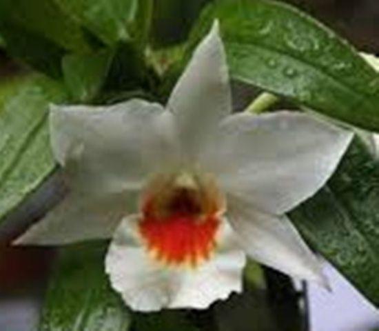 Dendrobium fire coral. Orquidário Santa Bárbara