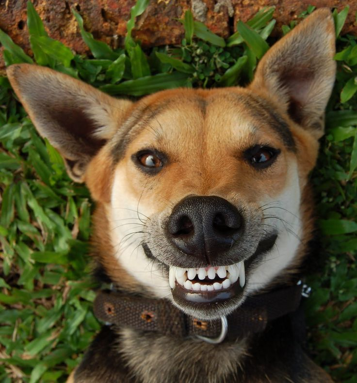 Dog Smiling With Teeth Images & Pictures - Becuo