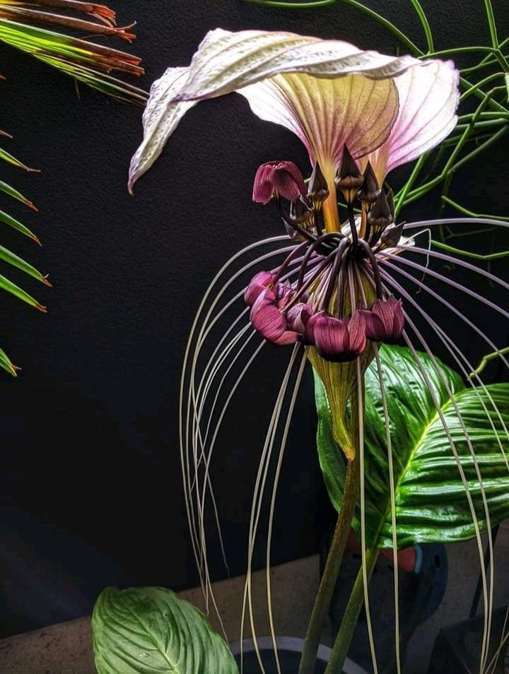Tacca Integrifolia In 2020 Plants Indoor Plants Painting