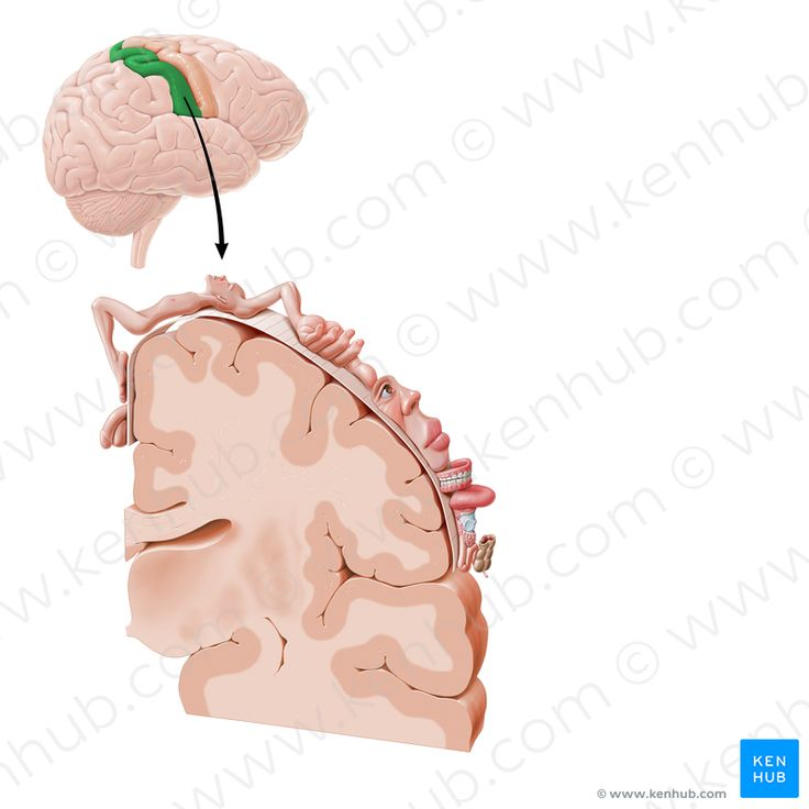 Postcentral gyrus (постцентральная извилина)