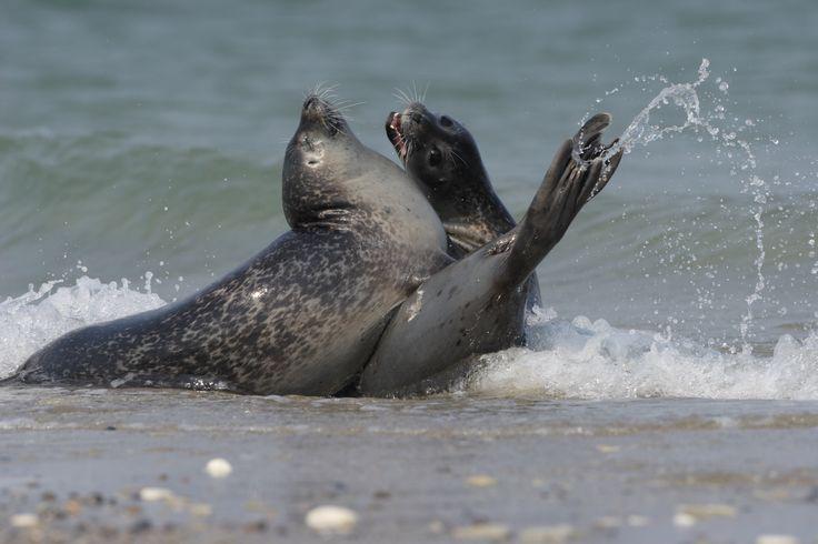 Een zee vol wildernis. Twee gewone zeehonden die hun stevige nagels en scherpe tanden laten zien.