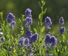 Ceanothus Skylark has fragrant blue flowers! - grid24_6