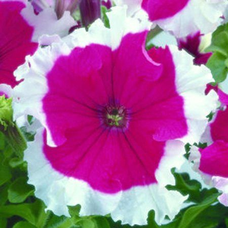 Shop By Brand In 2020 Annual Flowers Flower Seeds Petunias