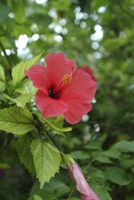 Hibiscus plants are typically divided into two categories, perennial and tropical. Tropical hibiscus plants are either brought indoors during cold weather or are treated as annuals, because of their ...