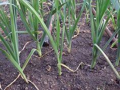 Cómo sembrar ajos - 7 pasos - unComo