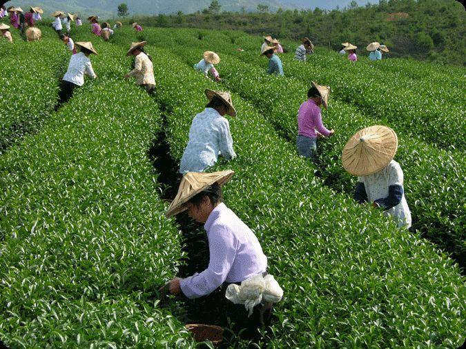 Зеленый чай серебряные стежки
