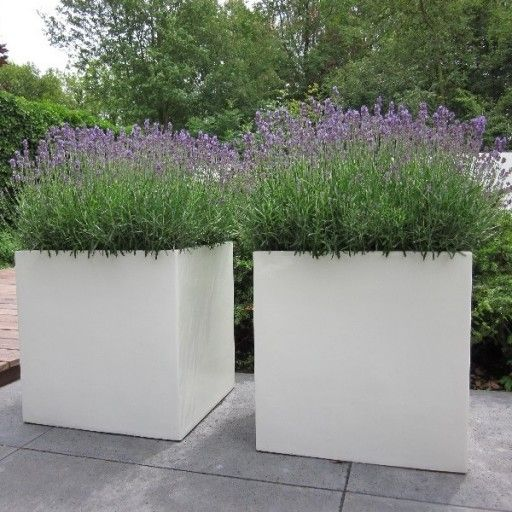 Witte buxus bloembakken