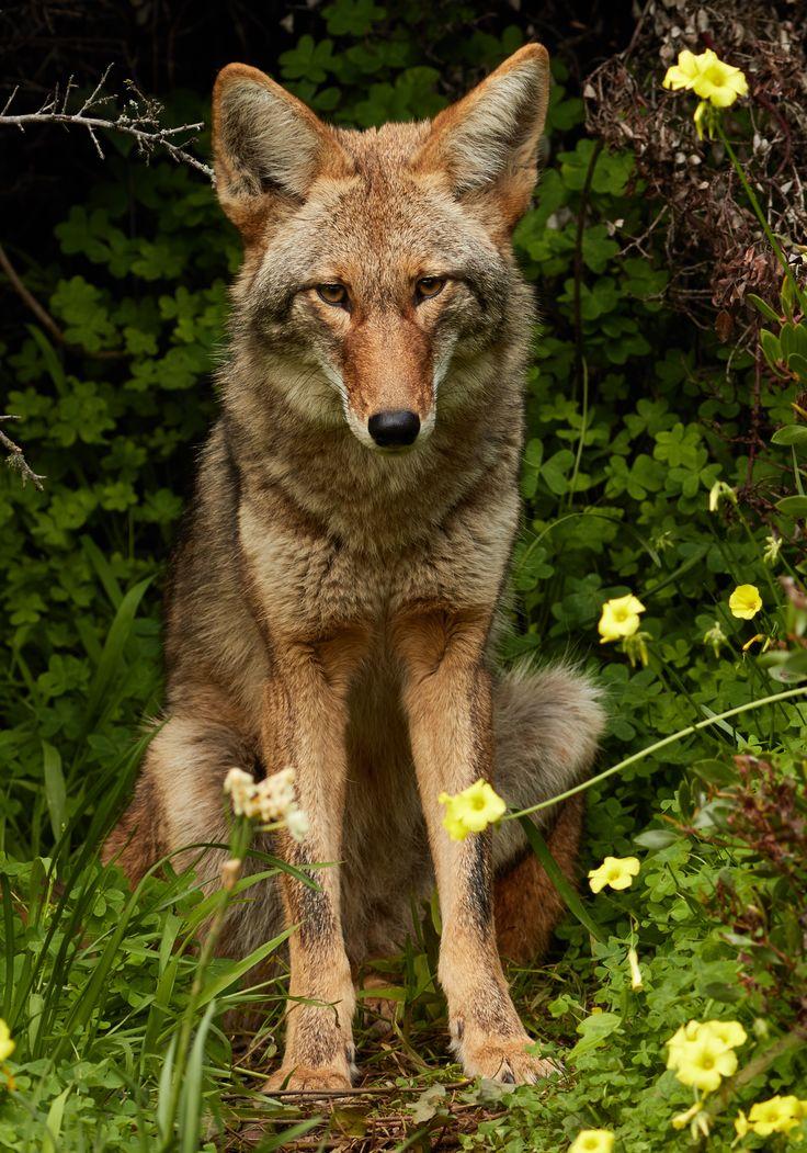 Un coyote entre flores. Animales salvajes, Animales