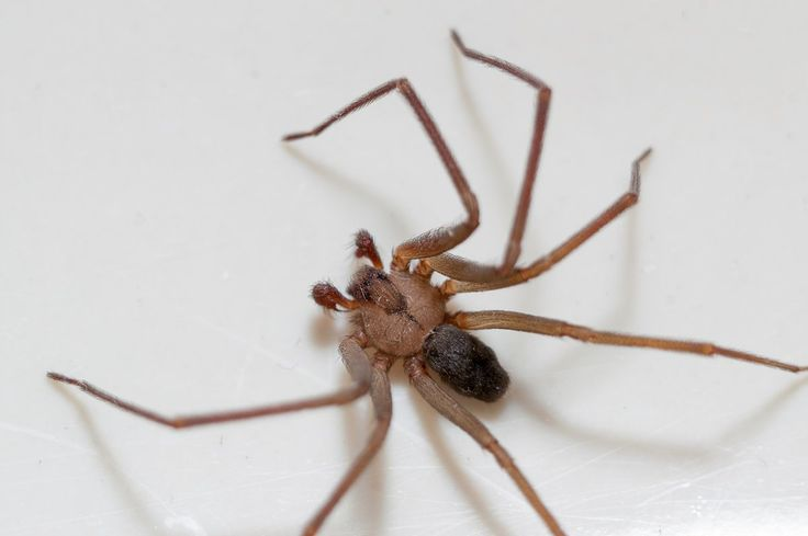 "TAKING ACTION: How to identify a brown recluse spider More identification tips can be found here or with a local pest control expert. But it may be hard to spot these spiders in your home. He explained the spiders live true to their name, ""recluse."" They don't seek out humans. ""They try to stay away from ...and more » #PestControltips"