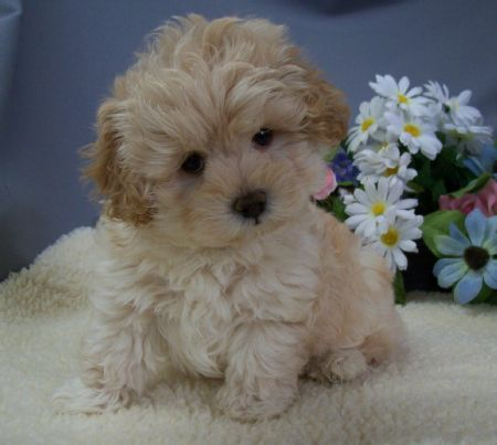 For more information about Maltipoo dogs visit https://www.teacupdogdaily.com/maltipoo-breed/