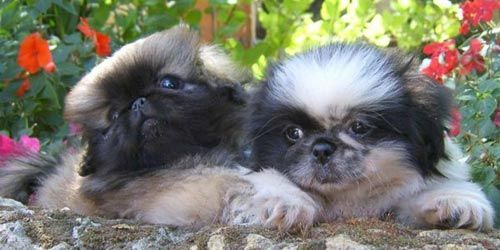 Cachorros de Pekinés