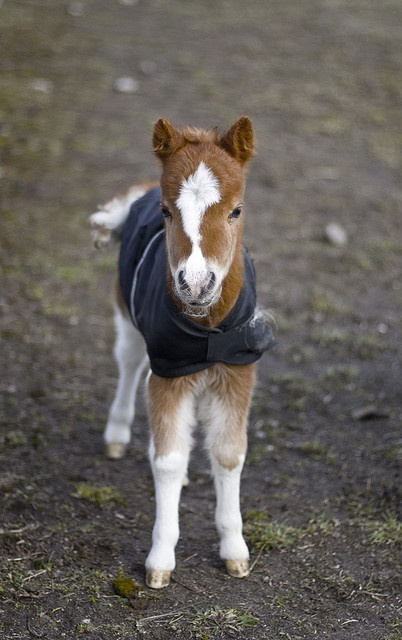 Avatar, an American miniature horse, eight days old.