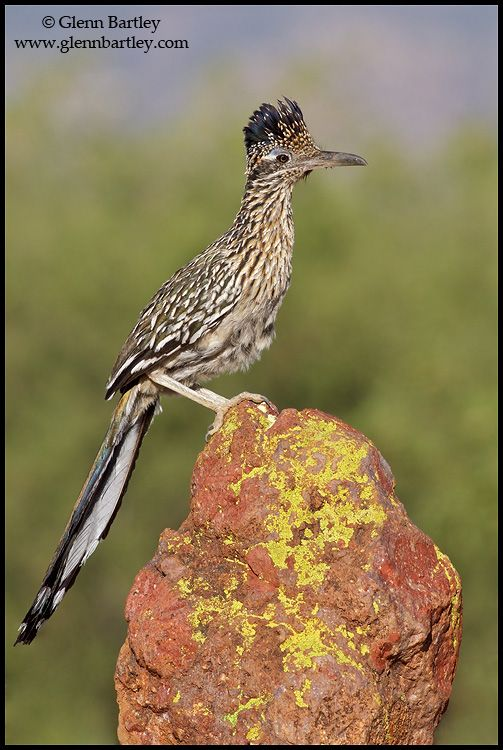 NEW MEXICO STATE BIRD:  GREATER ROADRUNNER