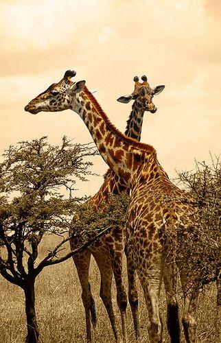 Jirafas Masai, P.N. Serengueti -   Masai giraffe, N.P. Serengueti
