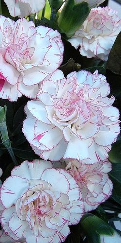 Pink Edged Carnations; only carnation I have seen thus far that I liked