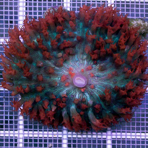 Ventes de Corallimorphes d'exception dans notre boutique en ligne pour sublimer votre aquarium récifal - Coral Biome, Live Cultured Corals