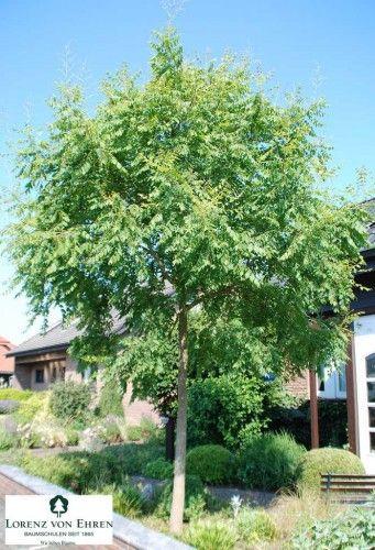 6 arbres qui sont vraiment adaptés pour un petit jardin Savonnier Koelreuteria paniculata